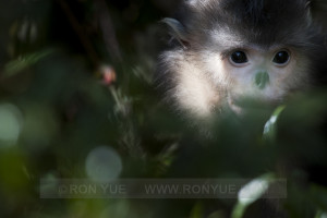Snub nosed monkey - Ron Yue