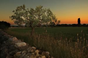 Istrian Olive Tree (c) Istria Tourism